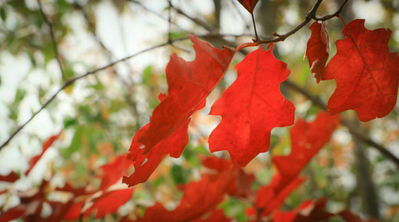 Flaming Tree III ©Rebecca Finch
