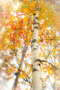 Bright Birch I ©Rebecca Finch
