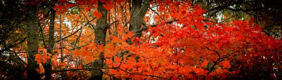 Flaming Tree ©Rebecca Finch