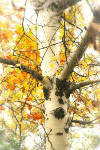Bright Birch II ©Rebecca Finch